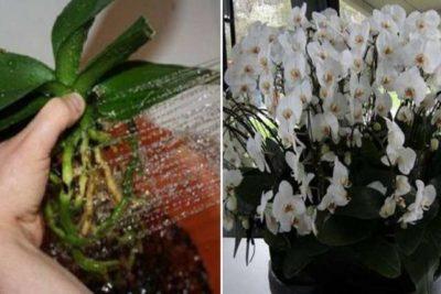 Пересадила орхидеи необычным способом